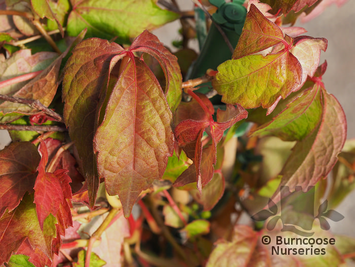 parthenocissus from burncoose nurseries. Black Bedroom Furniture Sets. Home Design Ideas