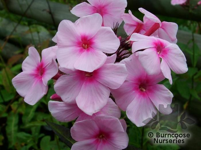 phlox mature dating site Phlox david tall garden phlox blooms in mid-summer with round heads of large,  pure  mature height, 36-40 tall  for 'rush' same week delivery, please call  customer service at 800-925-9387  you are using an out-of-date browser.