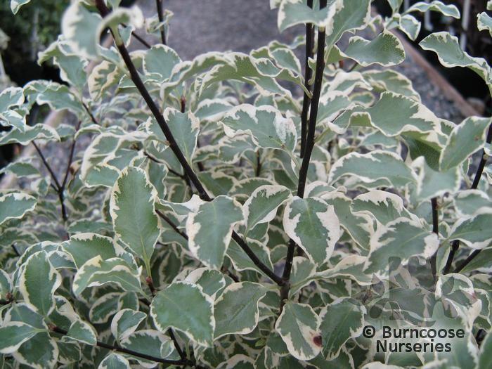 Pittosporum from burncoose nurseries - Pittosporum tenuifolium variegatum taille ...
