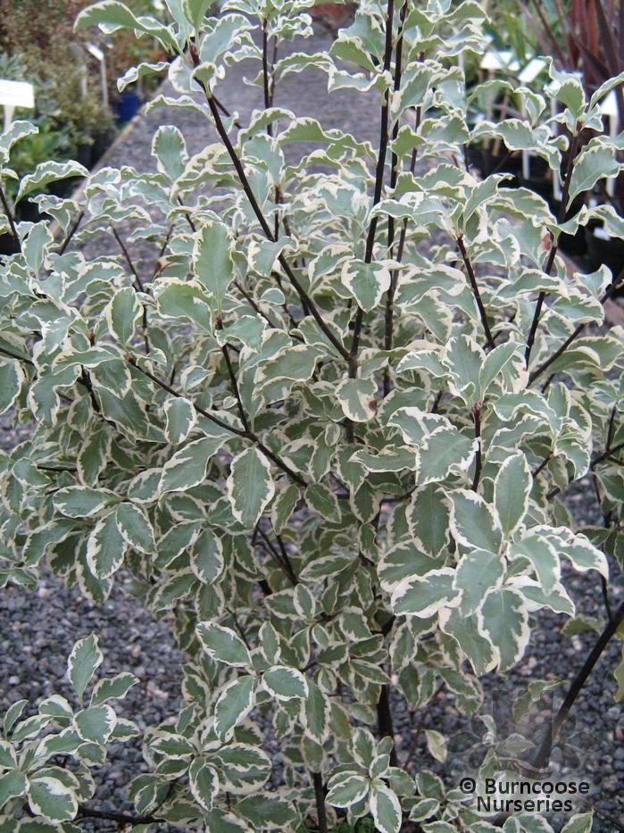 Pittosporum tenuifolium 39 variegatum 39 from burncoose nurseries - Pittosporum tenuifolium variegatum taille ...