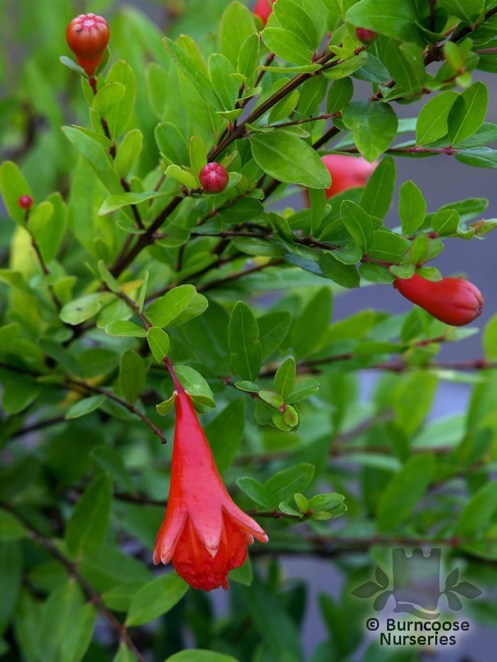 buy punica plants from burncoose nurseries. Black Bedroom Furniture Sets. Home Design Ideas