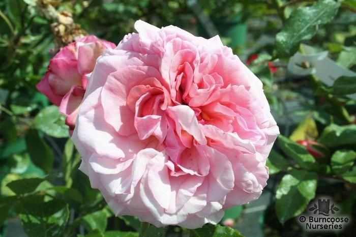 rosa 39 aloha 39 from burncoose nurseries ramblers climbers. Black Bedroom Furniture Sets. Home Design Ideas