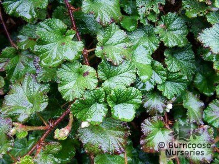 Rubus From Burncoose Nurseries