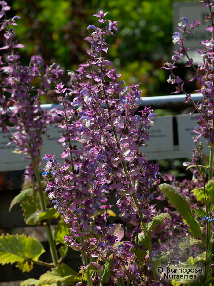 Salvia Turkestanica from Burncoose Nurseries