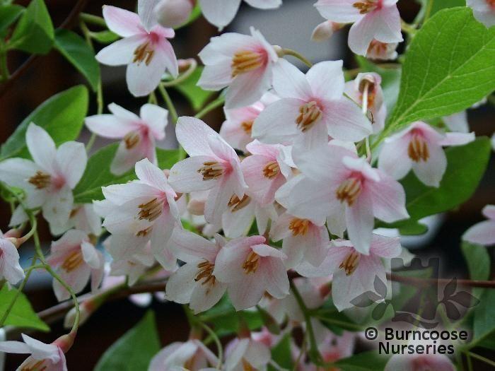 Styrax Japonicus From Burncoose Nurseries