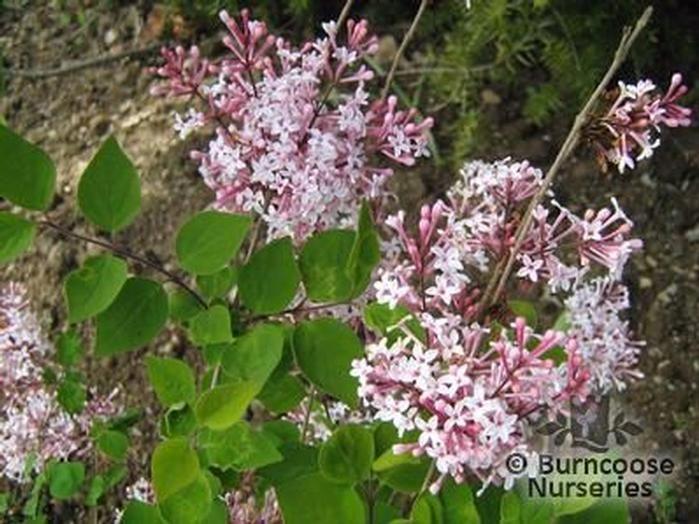 syringa microphylla 39 superba 39 from burncoose nurseries. Black Bedroom Furniture Sets. Home Design Ideas