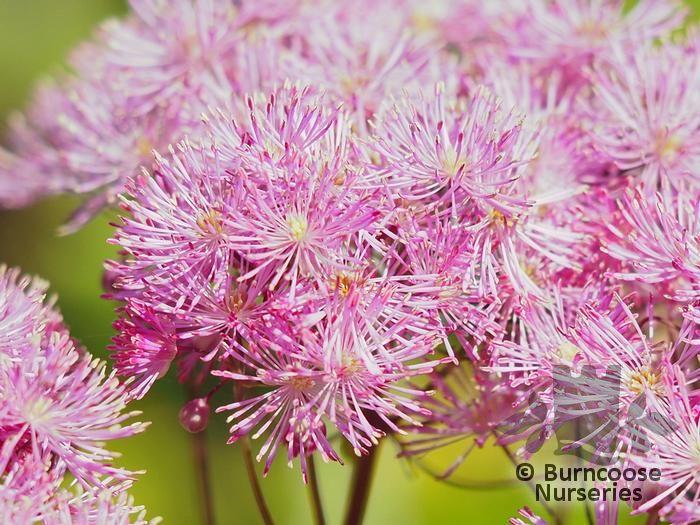 Thalictrum aquilegiifolium 39 thundercloud 39 from burncoose for Thalictrum rochebrunianum rhs