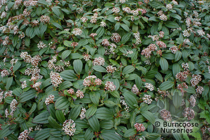 viburnum tinus from burncoose nurseries. Black Bedroom Furniture Sets. Home Design Ideas
