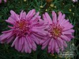 ARGYRANTHEMUM frutescens 'Pomponette Pink'