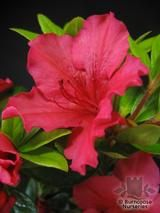 AZALEA - EVERGREEN 'Vuyk's Scarlet'  