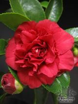 CAMELLIA 'Arejishi'  