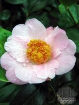 CAMELLIA 'Burncoose'  