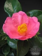 CAMELLIA 'Ellamine'  