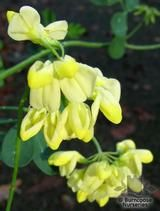 CORONILLA valentina subsp glauca 'Citrina'