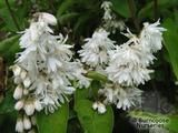DEUTZIA scabra 'Pride of Rochester' 