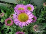 ERIGERON glaucus roseus  