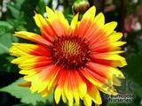 GAILLARDIA   