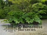 GUNNERA   