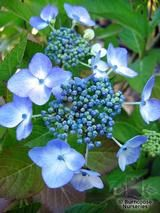 HYDRANGEA 'Blue Wave'  