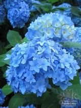 HYDRANGEA 'Nikko Blue'  