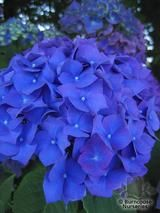 HYDRANGEA 'Enziandom'  