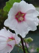 LAVATERA 'Barnsley'  