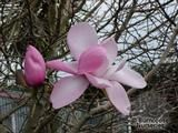 MAGNOLIA 'Copeland Court'  