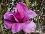 MAGNOLIA 'Purple Sensation'  