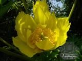 PAEONIA lutea var. ludlowii  