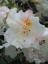 RHODODENDRON 'Fragrantissimum'  