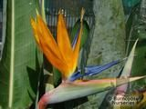 STRELITZIA reginae  
