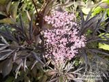 SAMBUCUS nigra 'Black Lace' 