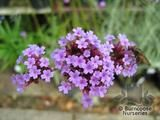 VERBENA bonariensis  