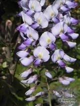WISTERIA floribunda 'Russelliana' 
