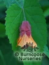 ABUTILON 'Wisley Red'