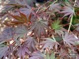ACER palmatum 'Inazuma' 