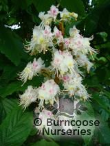 AESCULUS hippocastanum  