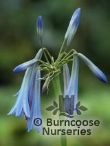 AGAPANTHUS inapertus subsp. 'Sky Blue' 