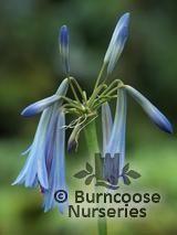 AGAPANTHUS inapertus subsp. 'Sky Blue'