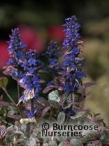 AJUGA reptans 'Burgundy Glow' 