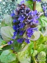 AJUGA reptans 'Catlin's Giant' 