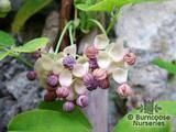 AKEBIA quinata 'Alba' 