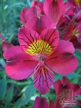ALSTROEMERIA 'Princess Leyla'  