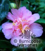 CAMELLIA ROSEA PLENA