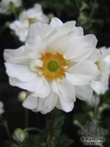 ANEMONE hupehensis 'Whirlwind' 