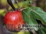 APPLE 'Worcester Permain'