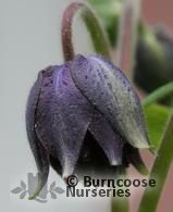 AQUILEGIA vulgaris 'Black Barlow' 
