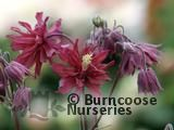 AQUILEGIA vulgaris 'Ruby Port' 