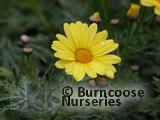 ARGYRANTHEMUM frutescens 'Cornish Gold'
