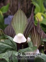ARISAEMA   